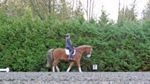 dressage horse walking in rubber horse footing